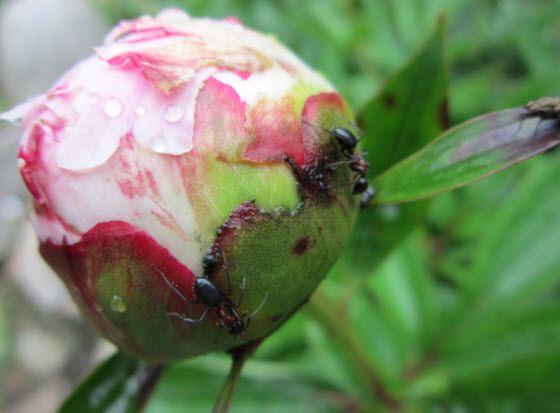 Peonies & Fuchsias Plant Care Tips