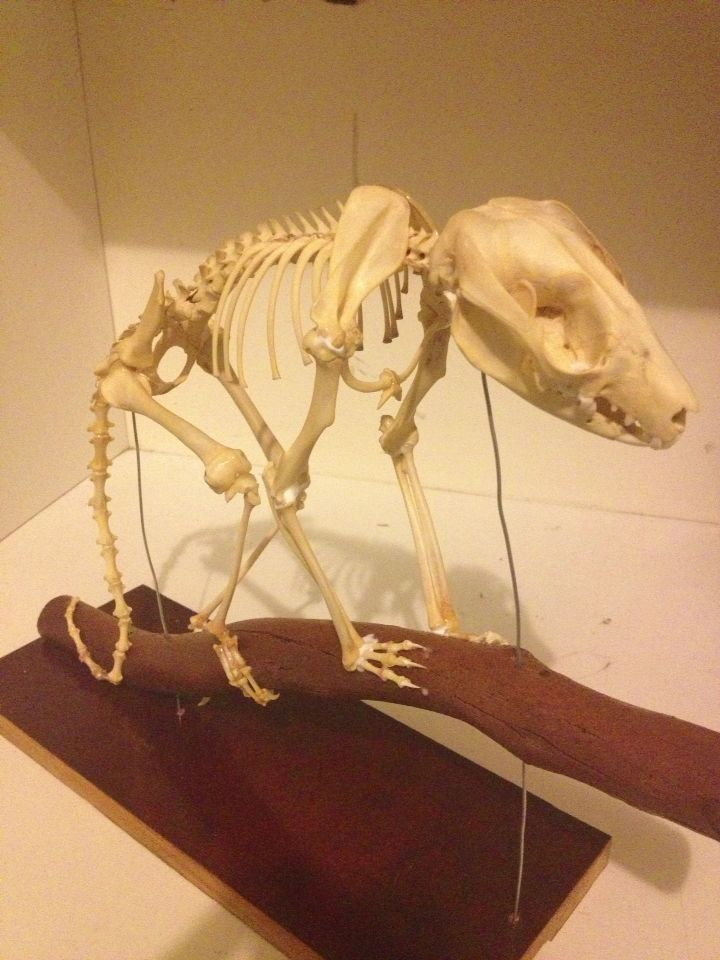 Done possum skeleton mount