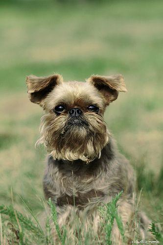 brussels griffon   Brussels Griffons   Pinterest   One day ... Adopt A Brussels Griffon Puppy