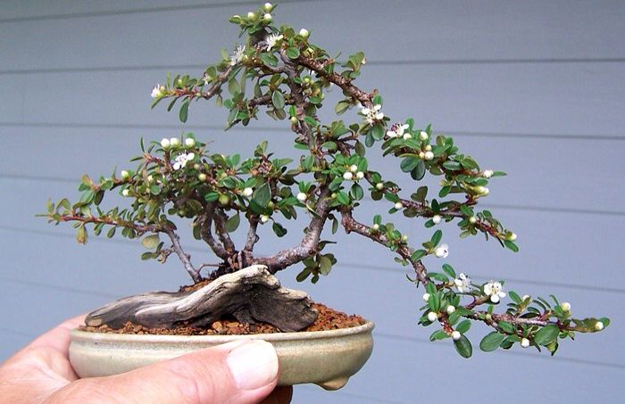 Small cotoneaster bonsai