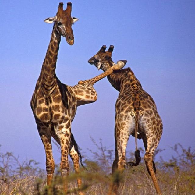 Giraffe Quotes Funny: 10 Best Funny Giraffe Images On Pinterest