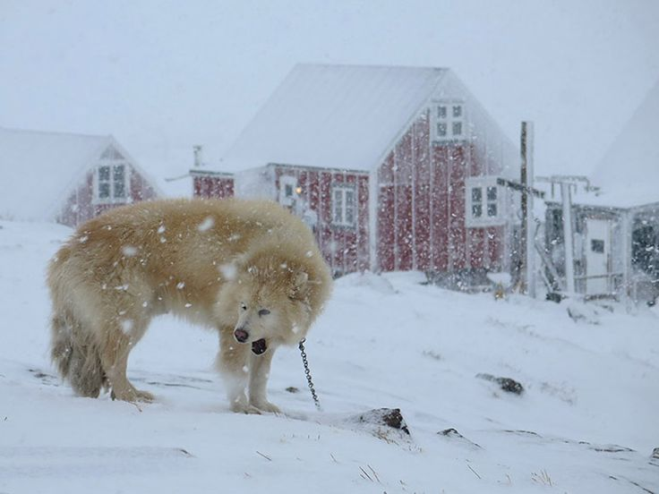 EAST GREENLAND # Tasiilaq # Dog # Photo by Ulrike Fischer