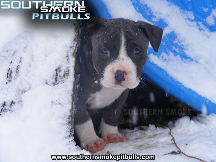 Blue Pitbulls | Pitbull Puppy Pictures Pics | Blue Pit Bull Puppies Photos