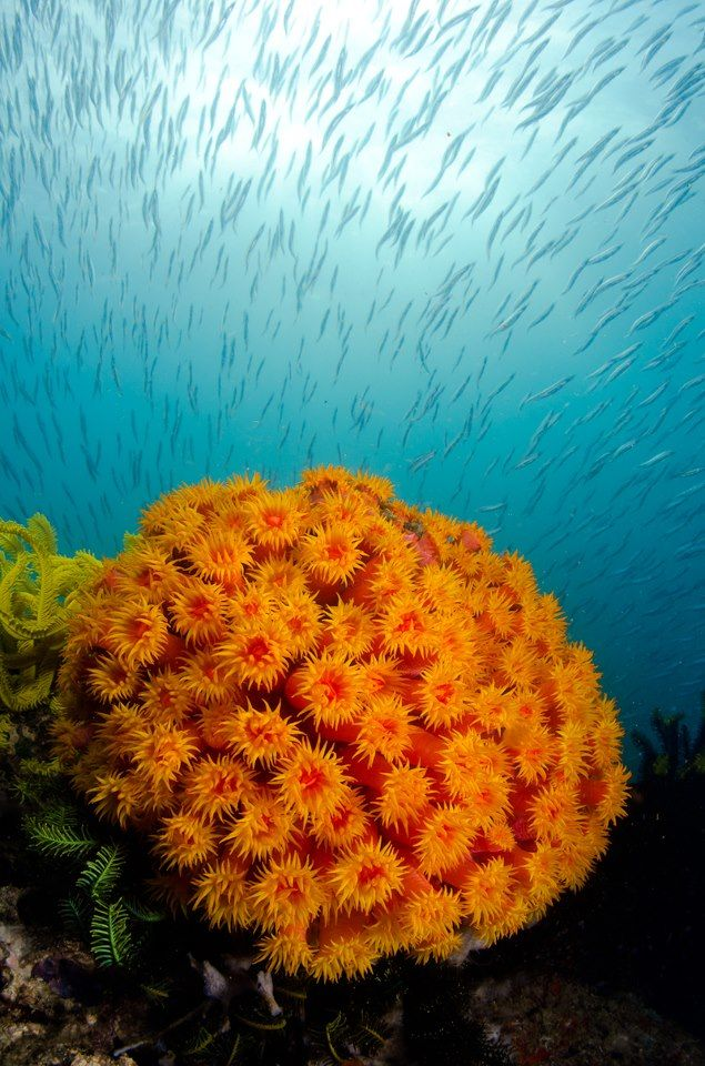 Orange soft coral