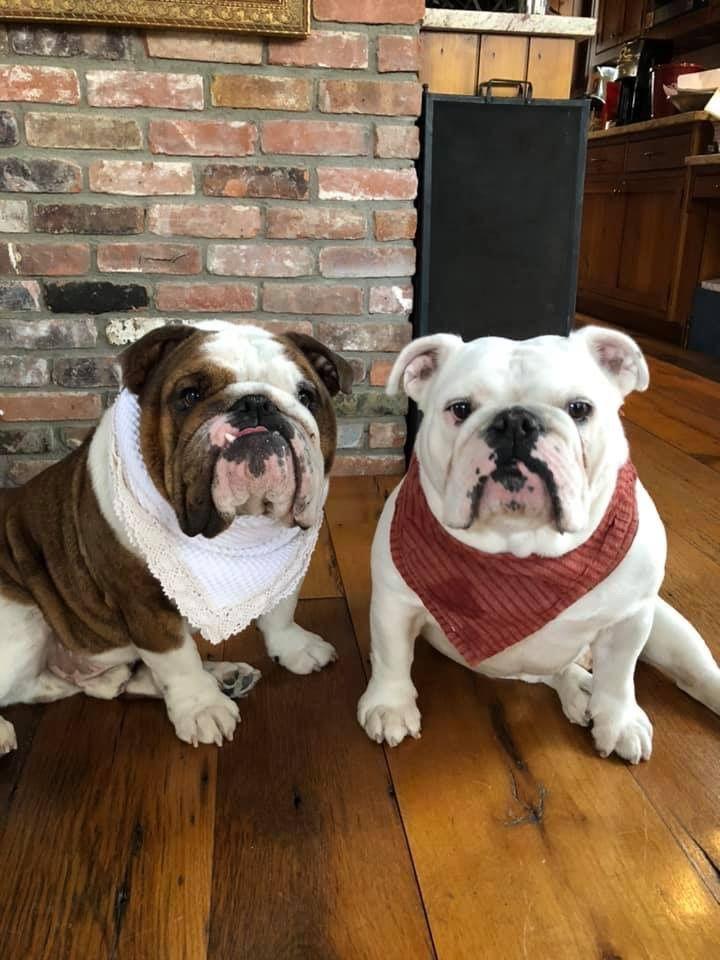 Pin By Siria Bloemendaal On Bulldogs Bulldog Puppies Cute Dogs
