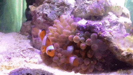 Clown fish playing with their new tank-mate a bubble tip anemone http://ift.tt/2h3LycI