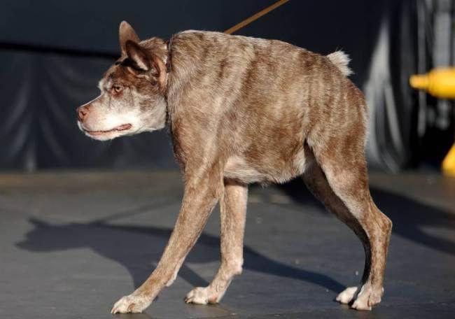 Quasi Modo dog at the World's Ugliest Dog contest 2014
