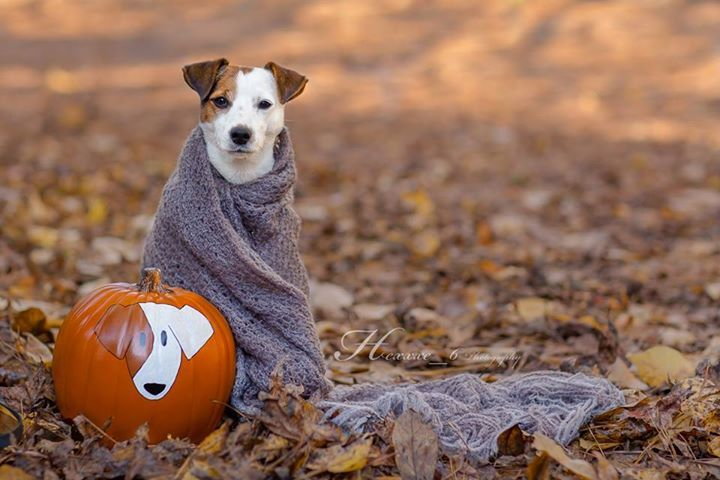 Happy Thanksgiving! Jack Russell Terrier Isis Maria S. by Heavenly Pet Photography. I am impressed she was able to keep JR still for the photo!