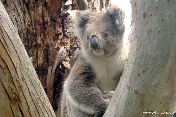 Koala in the Grampians NP