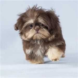 """Click visit site and Check out Cool """"Shih Tzu"""" T-shirts. This website is superb. Tip: You can search """"your name"""" or """"your favorite shirts"""" at search bar on the top."""