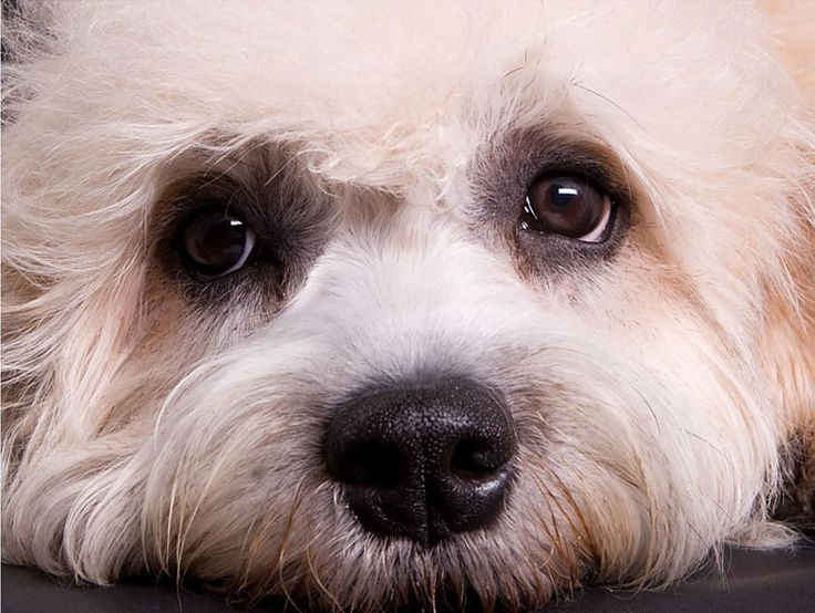Close-up of the adorable Dandie Dinmont Terrier.