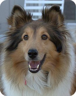 Shetland sheepdog, Pretty dogs and Dogs for adoption on