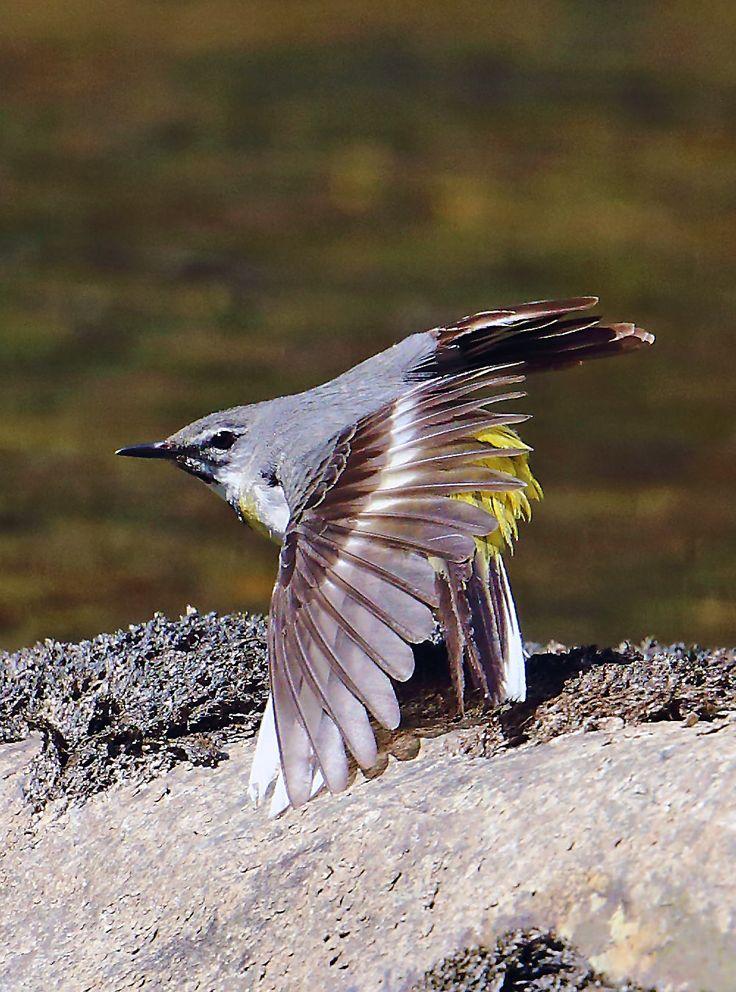 キセキレイ (黄鶺鴒) Grey Wagtail (Motacilla cinerea)