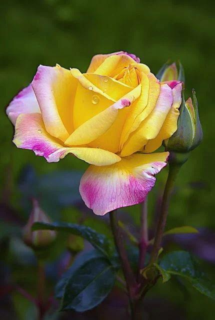 """-"""" ....y si me mandas una rosa desde tu corazon tu alma y tu amor...yo me siento feliz ..me cambia la cara ...vuelvo a sonreir !....""""-"""
