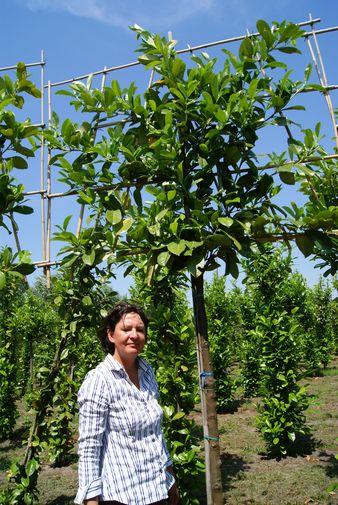 groenblijvende leibomen leilaurier leiprunus photinia container substraat