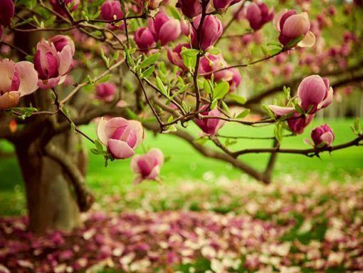 Tulipanfa