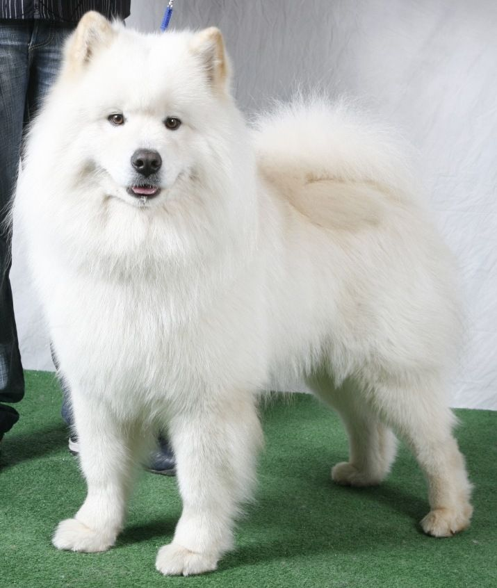 Dream Dog, Samoyede White Male