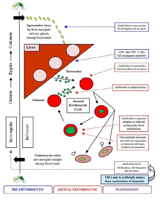 Figure 1: Schematic diagram showing the mechanisms of immunity against different life cycle stages of the major human malaria parasite Plasmodium falciparum, highlighting those against the sexual stages that transmission-blocking vaccines aims to induce.