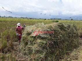 Padi Petani di Sangkaragung Diserang Wereng - http://denpostnews.com/2018/01/02/padi-petani-di-sangkaragung-diserang-wereng/