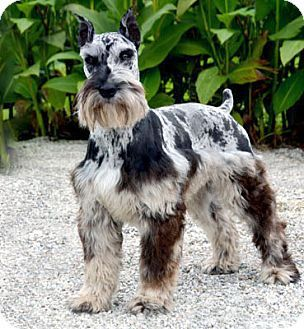 Merle Schnauzer - Know the numerous & potentially deadly Health Dangers of Merle and don't buy or promote it in ANY breed!