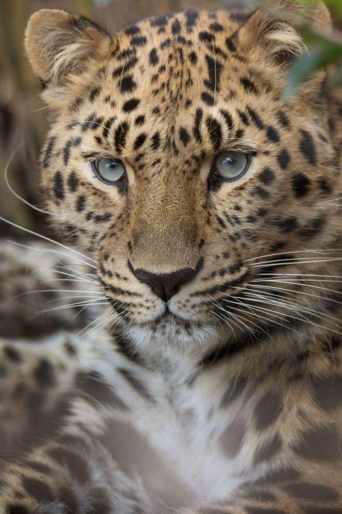 Amur Leopard by Lisa Diaz
