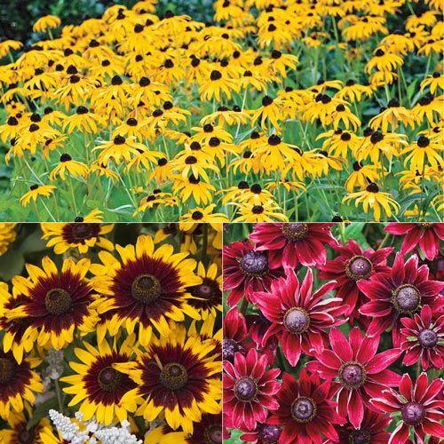 More Than Daisies – Rudbeckia | Spring Hill Nurseries