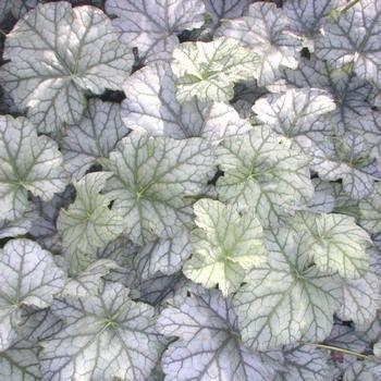 HEUCHERA - 'Mint Frost' - just love the colour combinations.