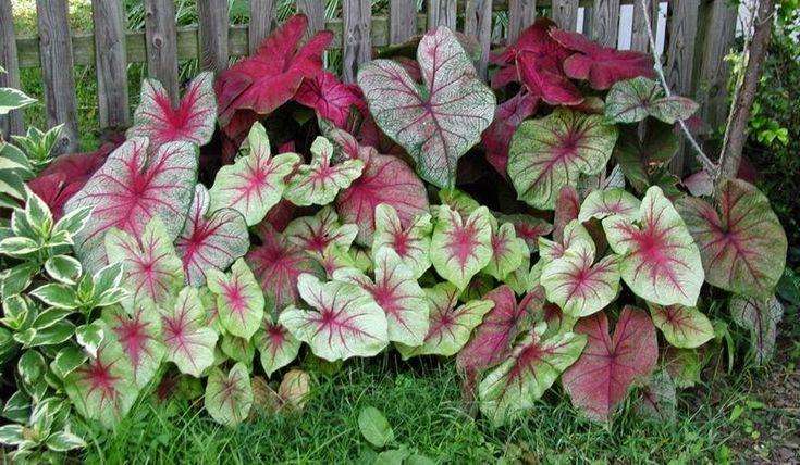 El Caladio es, para muchos, la planta más hermosa y elegante que puede cultivarse, pero muchos coinciden tambien en que es muy delicada y se...