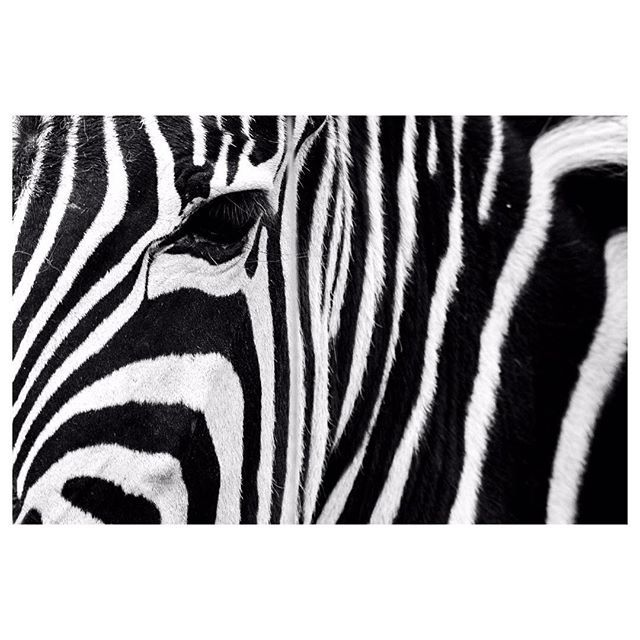.zebra. #instaanimal #angelafronterafotografia #eyes #eyeliner #stripes #starsandstripes #picoftheday #bw #bwphotography #concept #conceptual #closeup #close #soclose