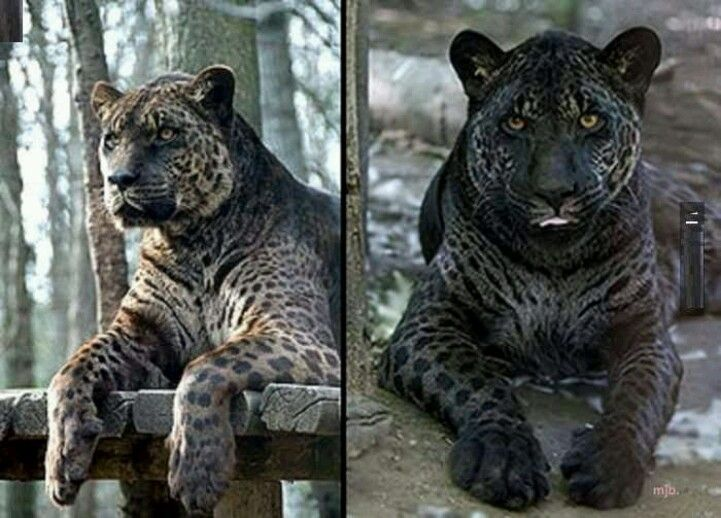 leopard and jaguar hybrid - photo #12