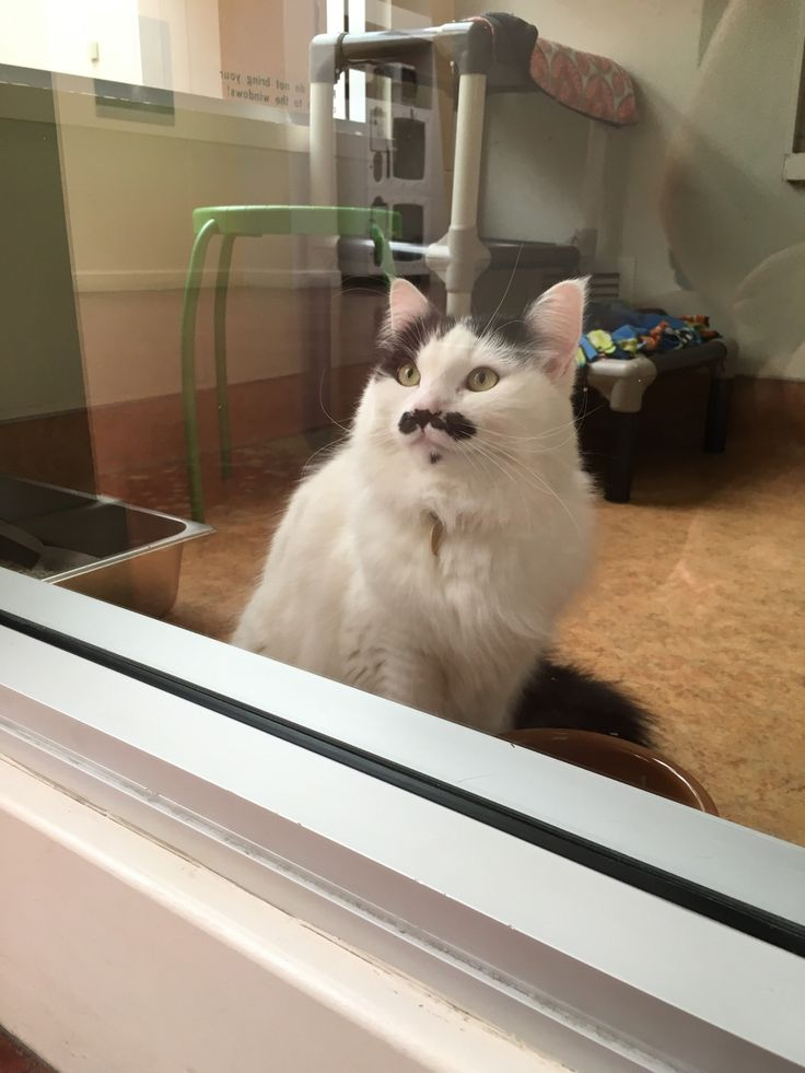 This cat at my local shelter has a mustache and goatee : aww