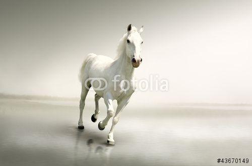 Beautiful white horse in motion MaMurale.com