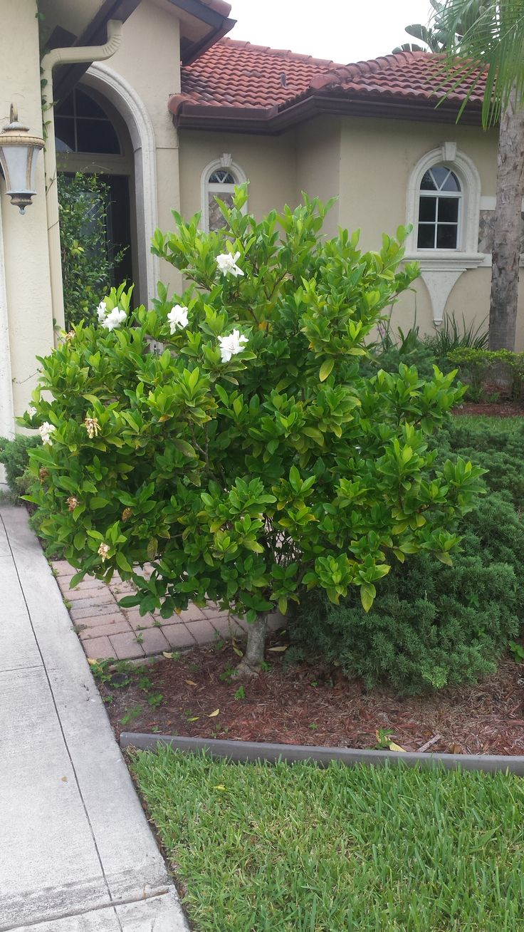 'Miami Supreme ' Gardenia.  In our opinion,  the best variety of Gardenia in south Florida.  Large, white fragrant blooms in spring & summer.  Hardy, long lasting.  Available in bush or tree form. Similar with selecting Citrus trees,  only suggest buying grafted specimens for higher quality growth and resistance against insects. A great fragrant addition.  Universal Landscape, Inc . Www.universaldevgroup.com
