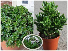 """La planta de Jade es una planta de buena suerte y fortuna, porque atrae dinero al hogar o al negocio. También se la conoce como """"planta ..."""