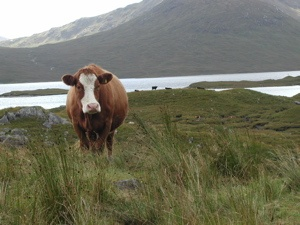 A bovine encounter on the Drover's Trail in Scotland   Photo by Sue FrauseBovine Encounter, Buckets Lists, Wild Things, Scottish Cows, Drover Trail, Sue Fraus
