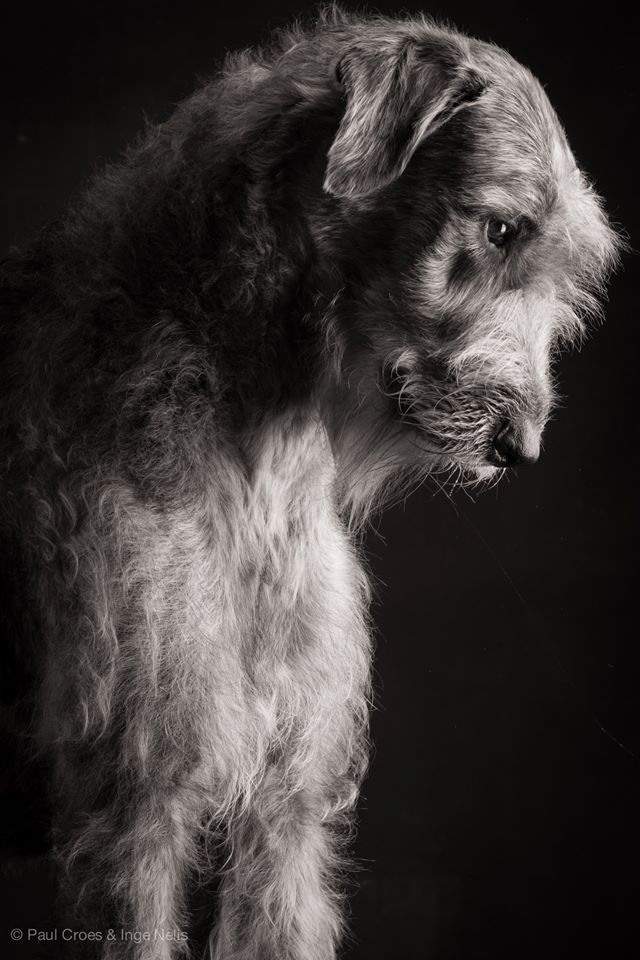 If I ever have a giant yard and home I am getting a Irish Wolfhound. Beautiful dogs.