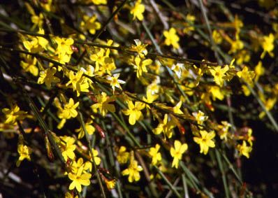 Jasminum nudiflorum AGM, 3L, Winter flowering jasmine, Climber,