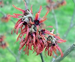 Amamelide - Hamamelis - Arbusti. Uso simile al Calicanto
