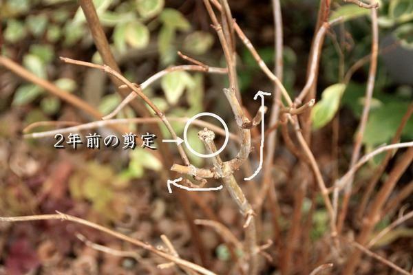 人気のアジサイ アナベル の剪定考察 剪定 紫陽花 剪定 レモンの木