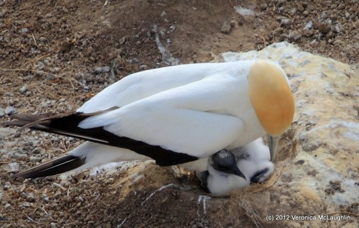 Baby Gannet - had to share this one wee pic of a mum and baby gannet… it's just so very sweet… and so nice to see some results after all mating we witnessed on our previous visits…