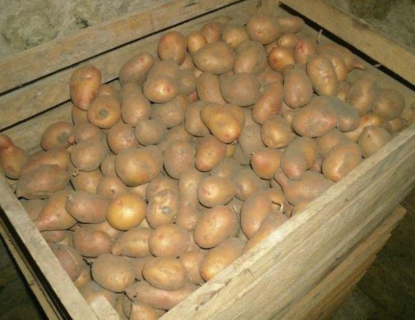 Хранение картофеля в зимний период Хранение картофеля в зимний период