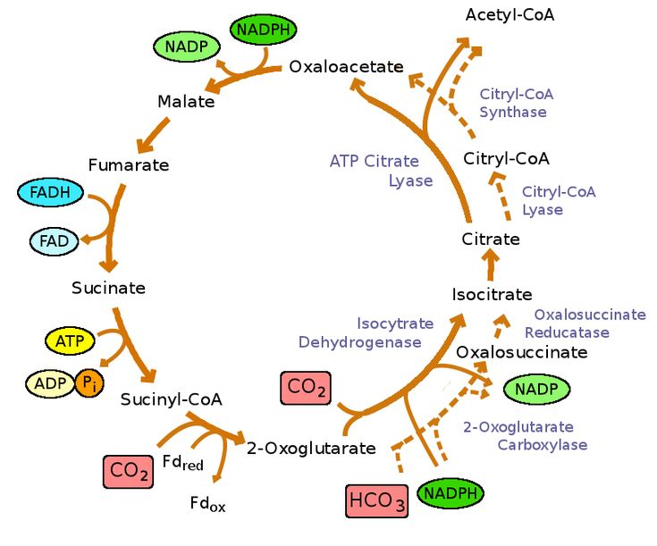 Reductive_TCA_cycle.png (807×671)