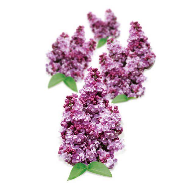 Lilak pospolity - Syringa vulgaris 'Katherine Havemeyer'