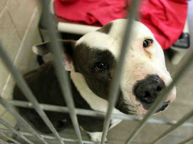 ***01/2018 ROOIBOS - ID#A4040532 My name is ROOIBOS. I am a female, brown and white American Pit Bull Terrier. The shelter staff think I am about 4 years old. I have been at the shelter since Jan 17, 2018. Maricopa County Animal Care & Control - West Valley Animal Care Center. Phoenix AZ