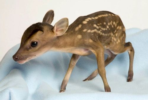babyCute Animal, Baby Deer, Mothers, God, Real Life, Tiny Animal, Pets, Baby Animal, Boyfriends