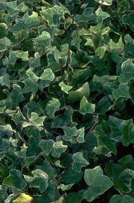 Ivy 'Glacier' Full Sun orPartial Shade North-facing or South-facing or East-facing or West-facing  Moisture Moist but well-drained, Well-drained