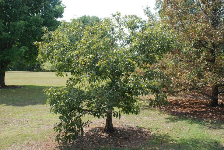 Dward Chinkapin Oak Quercus Prinoides Drought Tolerant