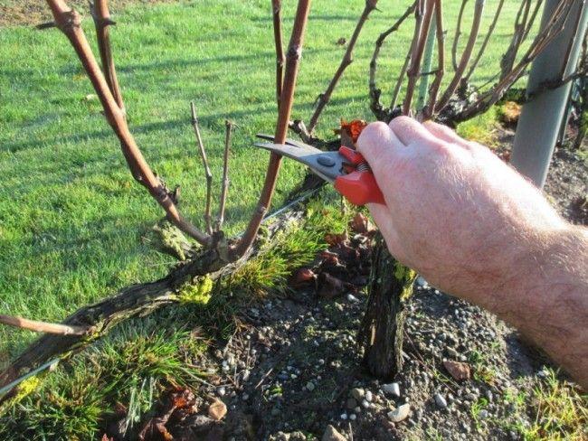 Les 21 meilleures images du tableau comment bouturer une - Quand tailler une vigne ...