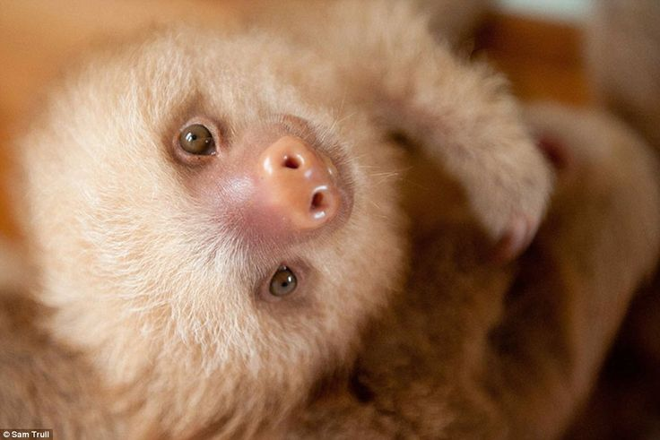 The conservationist said that many people steal sloths from the wild for tourists to touch and the sloths die from stress