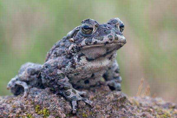 European green toad  Bufo virdis